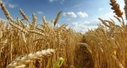 145 variétés de blé composent désormais les listes de Blés Pour la Meunerie Française.