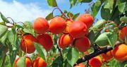 Fruits à noyaux, une histoire qui dure!