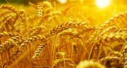 Genome blé tendre